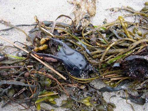 Spotted-Ray-eggcase-mermaidspurse