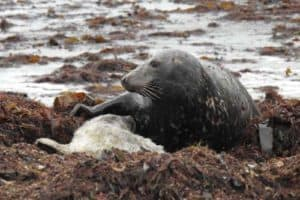 Seal-Mum-Suckling-Pup-Bray