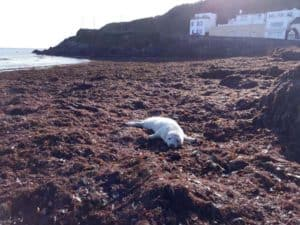 seal-pup-Bray-Head