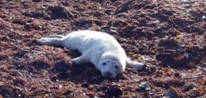 Seal-Pup-Bray-Beach