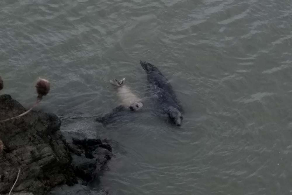 Bray-Grey-Seal-Pup-swimming