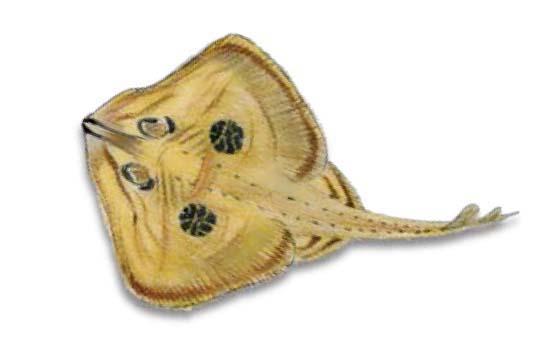 Cuckoo-Ray-Leucoraja-naevus