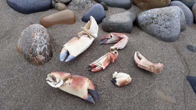 Crab-Claws-Beach-SarahVarian-MarineDimensions