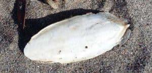 Cuttlefish-Bone-Ireland-SarahVarian-MarineDimensions