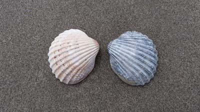Cockle-Shells-Beach-SarahVarian-MarineDimensions