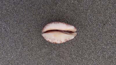 Cowrie-shell-beach-SarahVarian-MarineDimensions