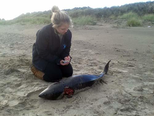 Porpoise--Phycoena-Stranding-Brittas--SarahVarian-MarineDimensions