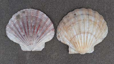 Scallop-shells-beach-SarahVarian-MarineDimensions