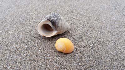Winkle-shells-beach-SarahVarian-MarineDimensions