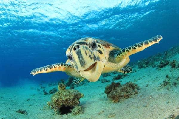 hawksbill-sea-turtle-Rich-Carey-Shutterstock