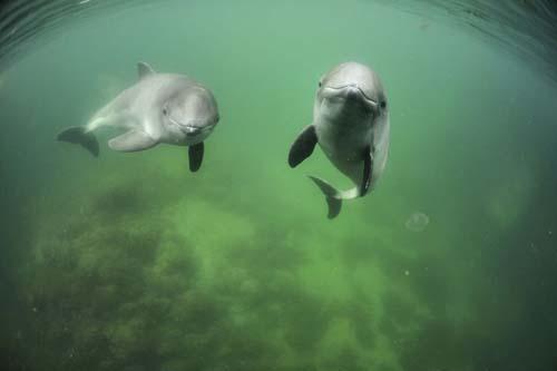 Harbour-Porpoises-Solvin-Zankl