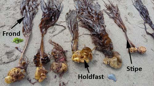 Kelp-Seaweed-parts-SarahVarian-MarineDimensions