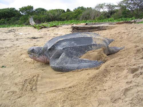 Leatherback-SeaTurtle-Nesting-TomDoyle